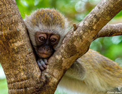 tarangire, national park, tanzania, vervet monkey