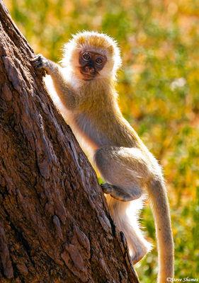 tarangire, tanzania, vervet monkey