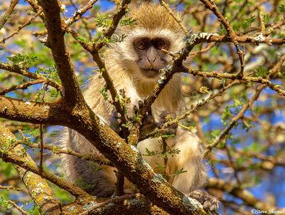 serengeti, tanzania, vervet monkey