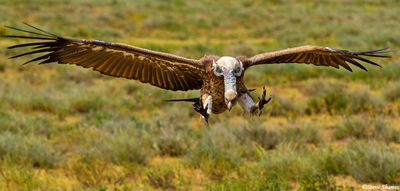 vulture landing, serengeti, national park, tanzania