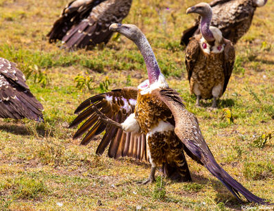 serengeti, national park, tanzania, vulture kicking