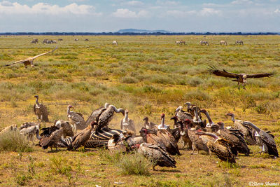 serengeti, national park, tanzania, group of vultures, dead zebra