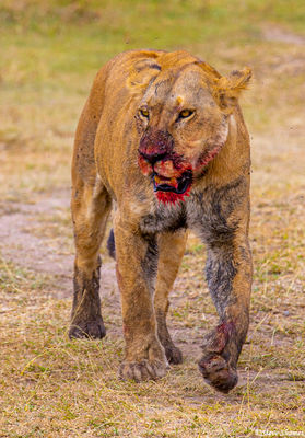 serengeti, national park, tanzania. zebra kill, bloody lioness