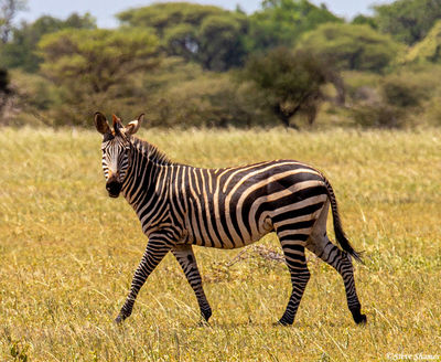 tarangire national park, tanzania, common zebra, plains