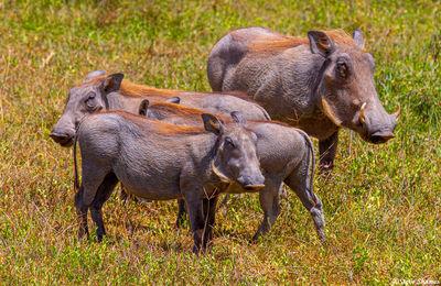 ngorongoro crater, tanzania, warthogs, red-haired mane