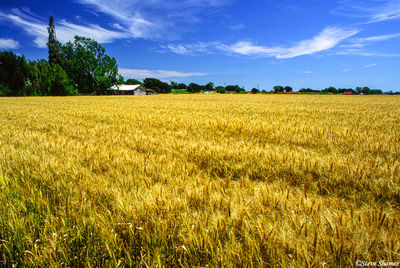 field of wheat, clarksburg, california, golden state, sacramento river