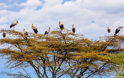 the serengeti, tanzania, white storks