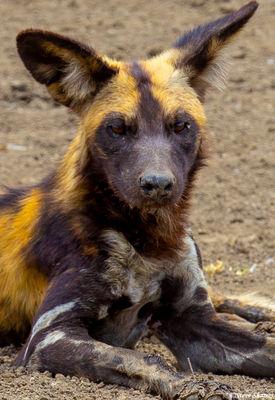 serengeti national park, tanzania, wild dog portrait