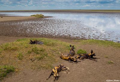 serengeti national park, tanzania, wild dog pack