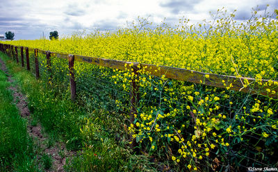 wild mustard plants, sacramento valley, california