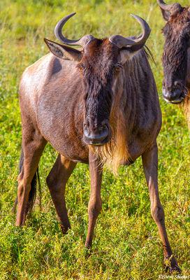 ngorongoro crater, tanzania, wildebeest