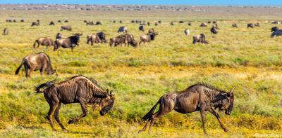 wildebeest chasing, serengeti, tanzania