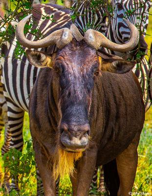 wildebeest face, serengeti, tanzania