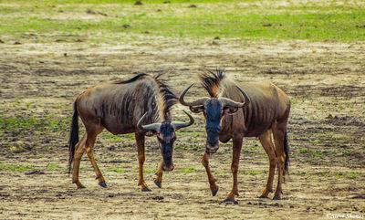 wildebeest, Hwange, Zimbabwe