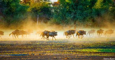 wildebeest running, Hwange, Zimbabwe