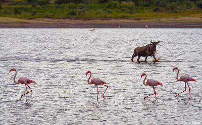 wildebeest, serengeti, tanzania, ndutu lake, flamingos