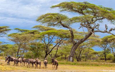 serengeti national park, tanzania, wildebeest