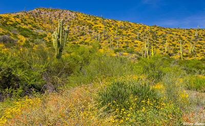 tonto national monument, arizona, yellow flowers