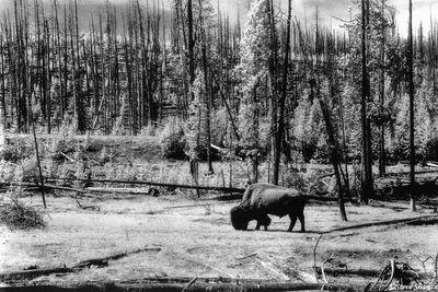 yellowstone, national park, wyoming, bison