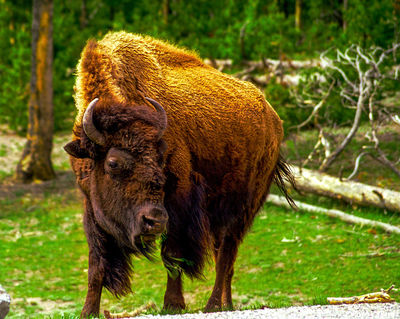 yellowstone bison, national park, wyoming, buffalo crossing