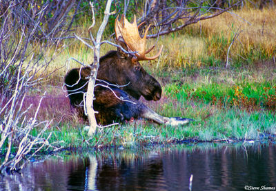 yellowstone, national park, wyoming, bull moose