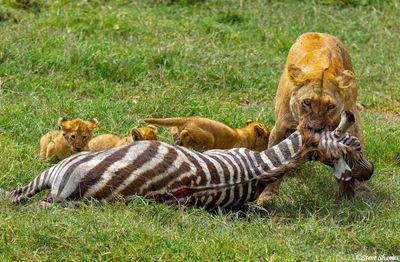 serengeti, national park, tanzania, zebra kill, feed cubs
