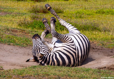 ngorongoro crater, tanzania, zebras