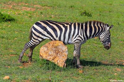 masai mara, national reserve, kenya, zebra scratching