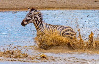 serengeti national park, tanzania, zebra in waterhole