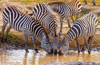serengeti, national park, tanzania, zebras, synchronized drinking