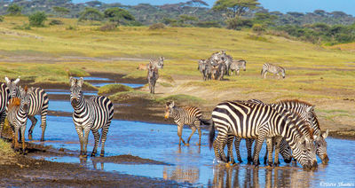 serengeti, national park, tanzania, zebras drinking, river