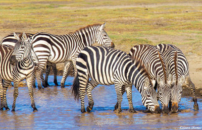 serengeti national park, tanzania, zebras, river