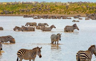 zebras in waterhole, serengeti, national park, tanzania