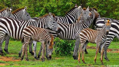 masai mara, national reserve, kenya, zeal of zebras