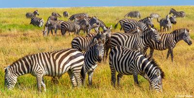 serengeti, national park, tanzania, zebras eating