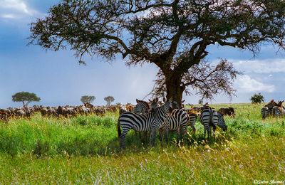serengeti plains, tanzania, flat top acacia tree, zebras