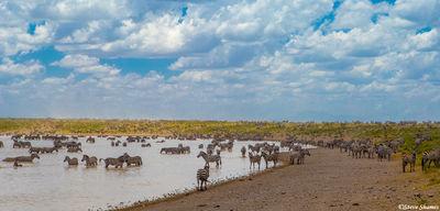 serengeti, national park, tanzania, zebras in waterhole