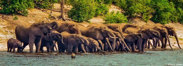 chobe national park, chobe river, thirsty elephants