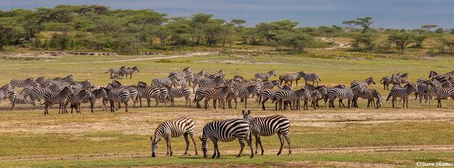 serengeti, national park, tanzania africa, zebra, wildebeest migrate