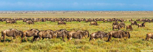 serengeti, national park, tanzania, wildebeest, zebra
