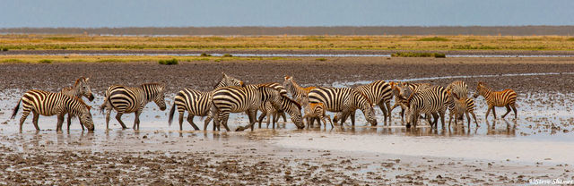 serengeti, national park, tanzania, zebras
