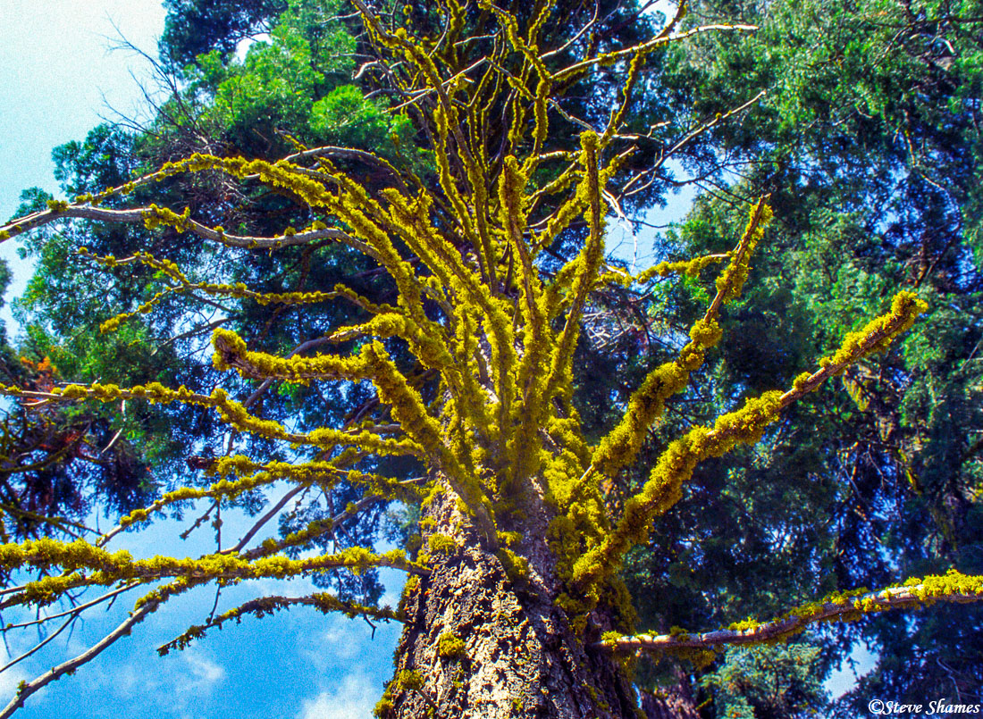 sequoia national park, colorful lichen, branches, photo