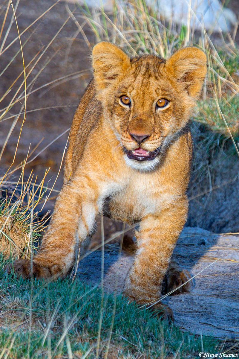 A little lion cub. Part of a large pride with 12 cubs.