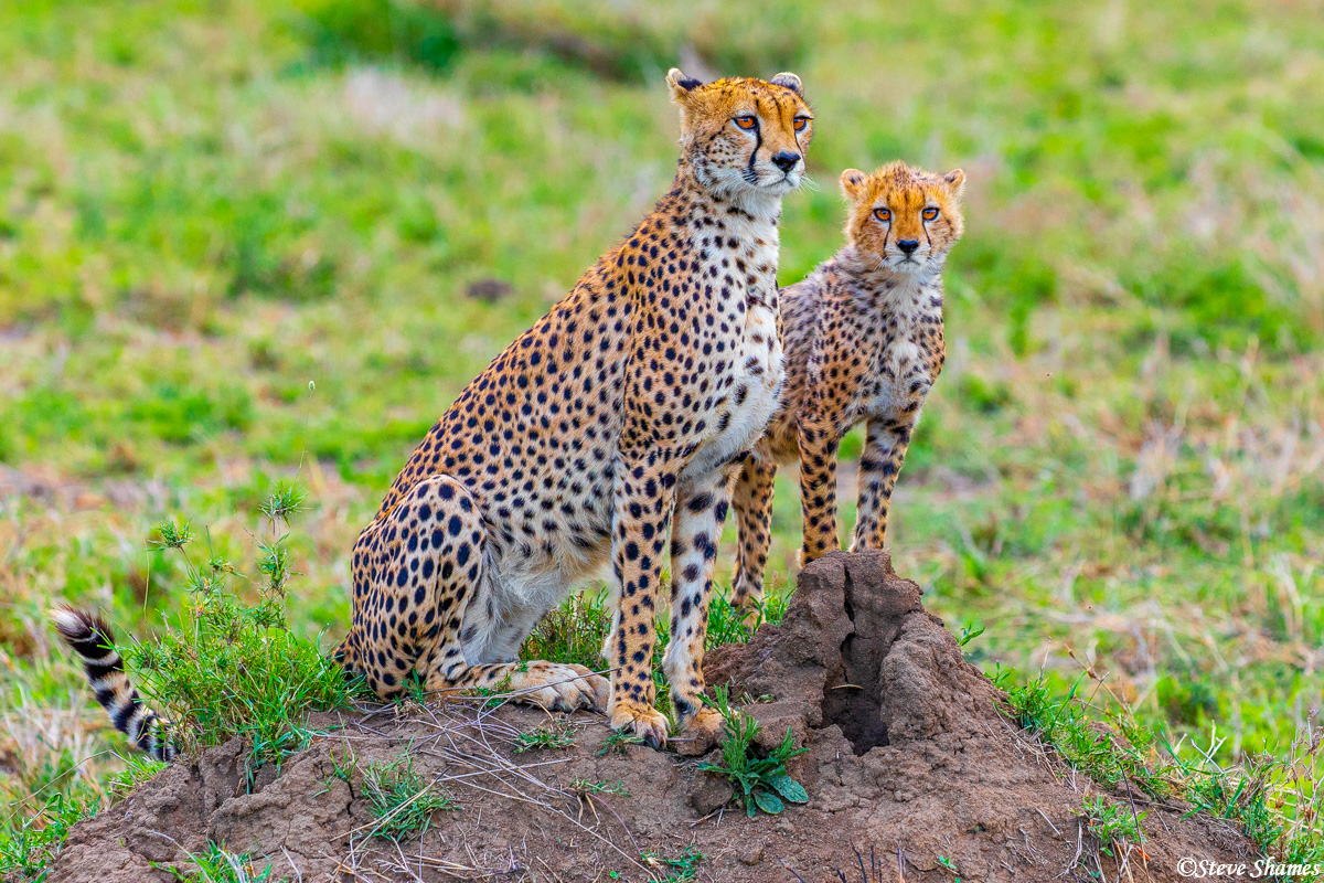 Our mother and son cheetahs on the lookout on a termite mound.