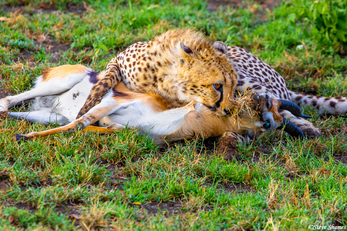 This young female cheetah just scored a Thompsons gazelle kill. It took two chases but she finally got one.