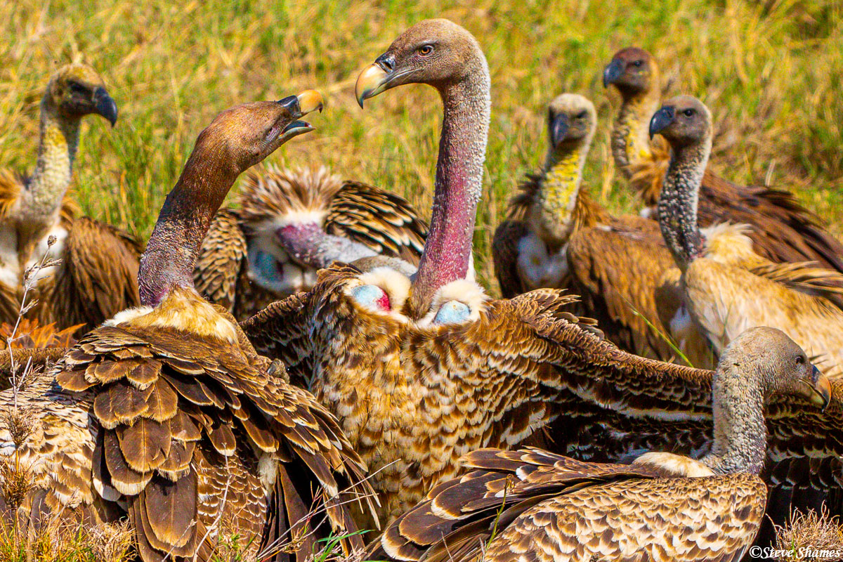 Vultures are always bickering and arguing with each other when there is food to eat. They don't like to share.