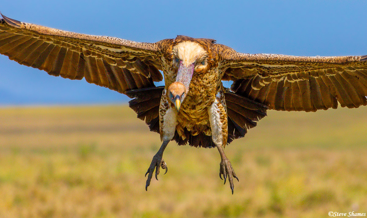 African vulture coming in for a landing.