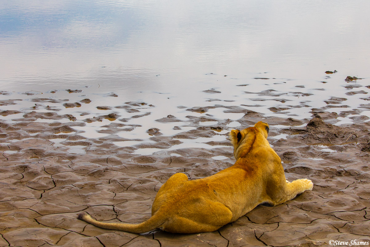 A lioness surveying her domain -- a waterhole