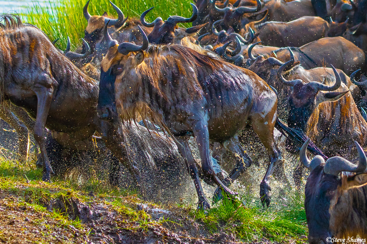 Soaking wet wildebeest jumping out of the water.