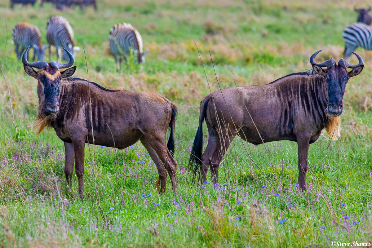 These two wildebeest reminded me of bookend, by the way they are posing.